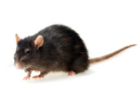 Find Local Rat Catchers
