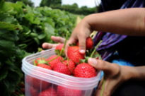 Find Local Strawberry Picking